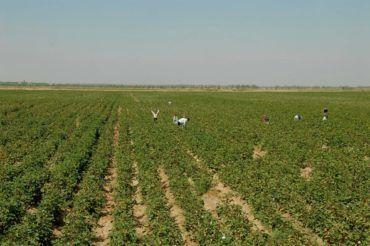 people working in Cotton fields in Uzbekistan