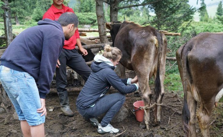 milking cows during nomad university tour in kyrgyzstan, central asia