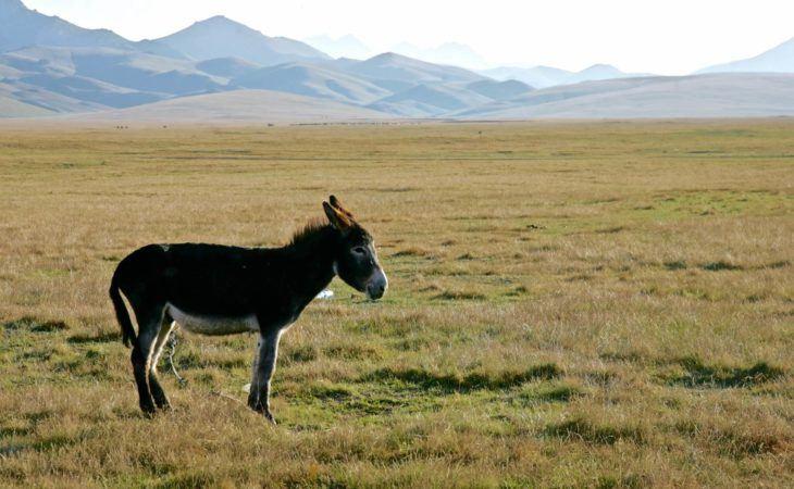 Donkey in Son Kul pasture, Kyrgyzstan
