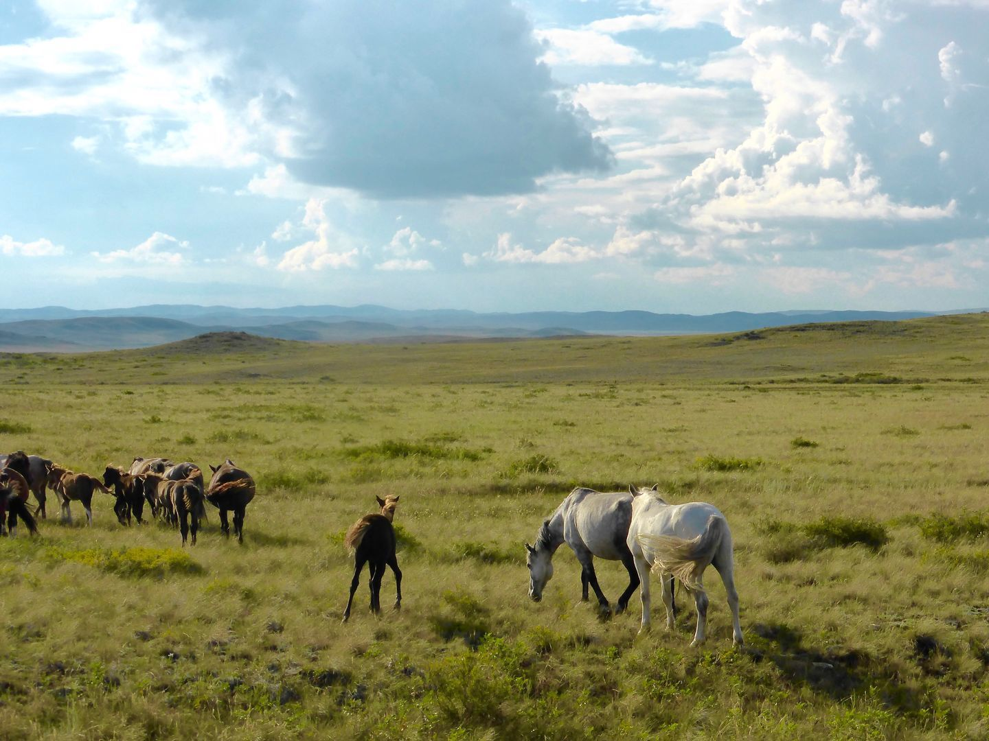 Horses gazing in the steppes of Kazakhstan