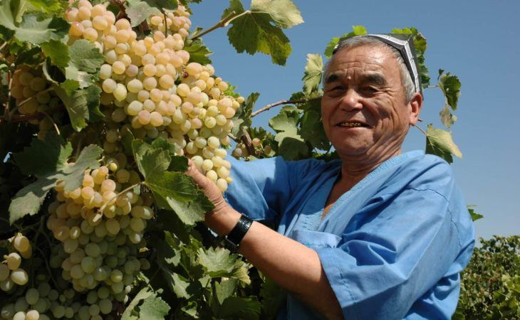old men picking grapes in Kyrgyzstan
