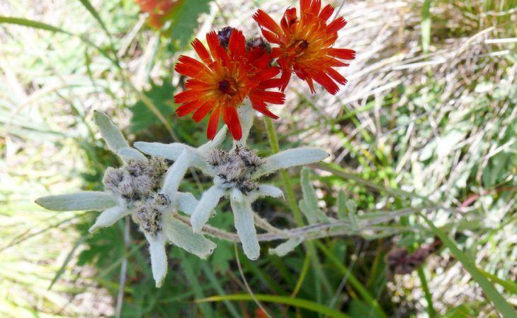 Kyrgyzstan Edelweiss Summer Pasture