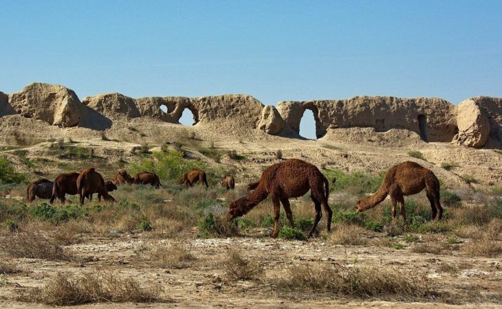 Turkmenistan Tour - Camels Grazing at Merv